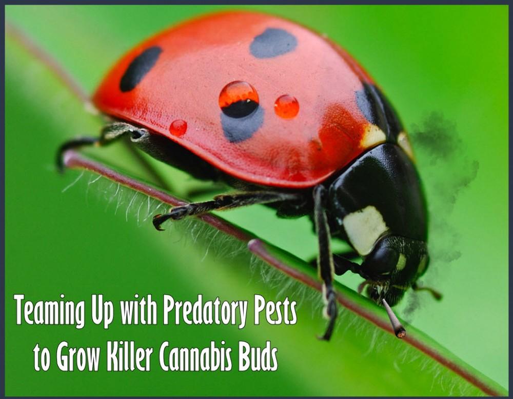 ladybugs and marijuana