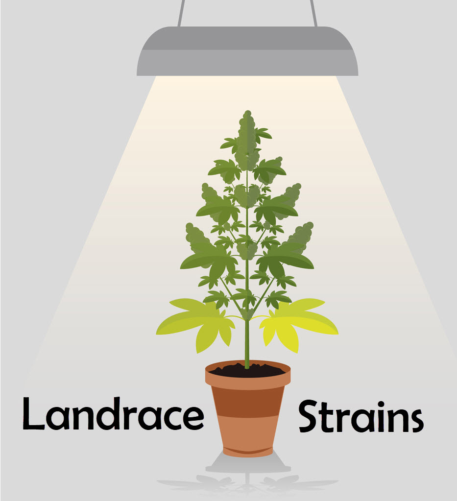 landrace cannabis strains are what?