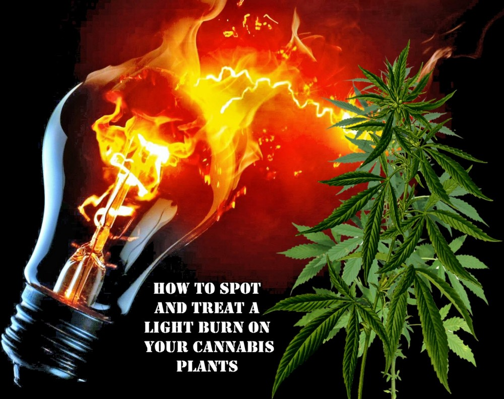 lightburncananbisplants - How to Spot and Treat a Light Burn on Your Cannabis Plants
