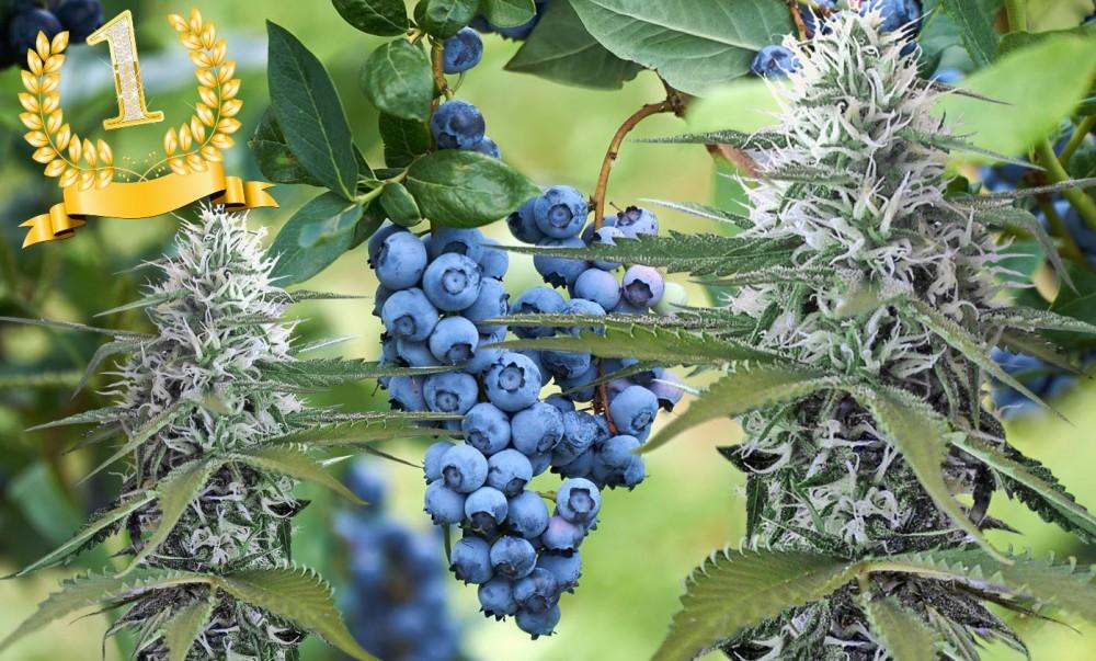 Maine marijuana crops