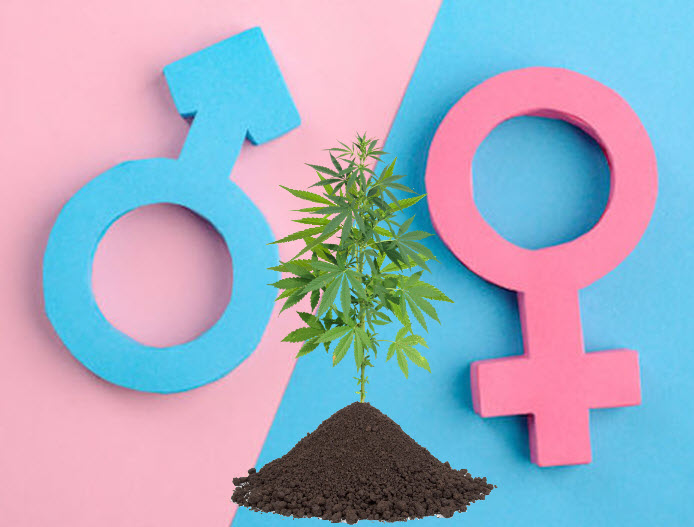 cannabis plants are male or female