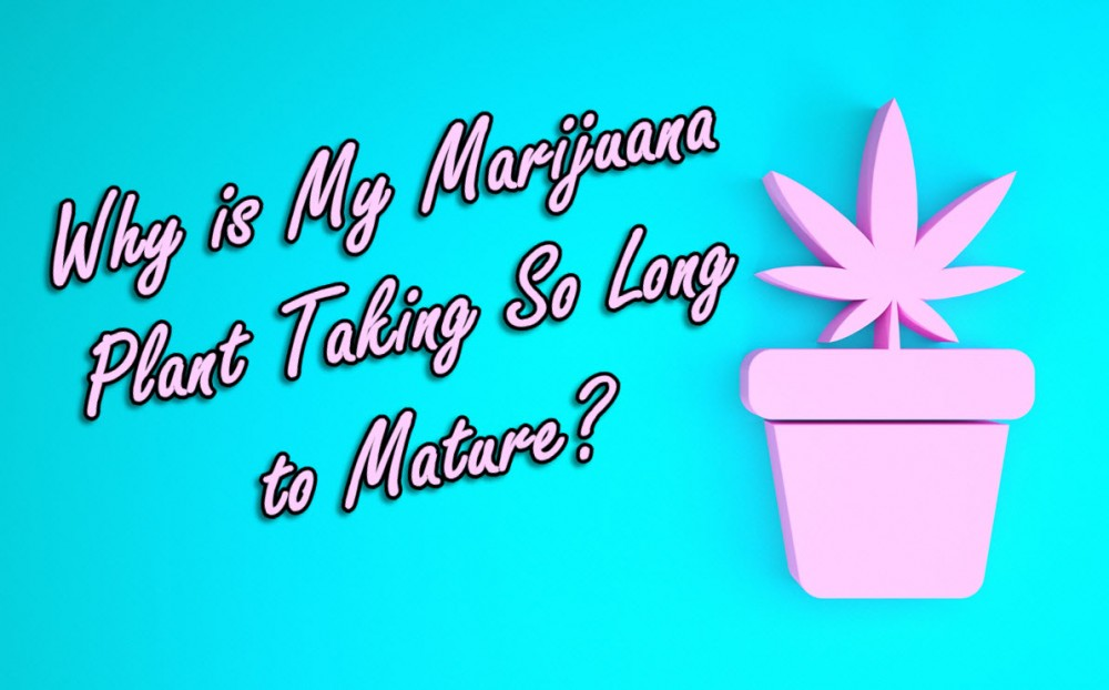 how long does a marijuana plant take to grow