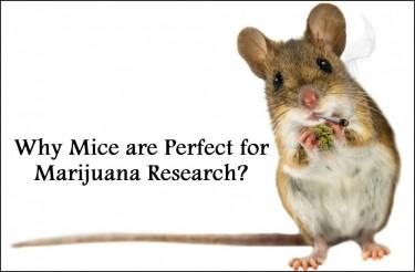 marijuana mouse research