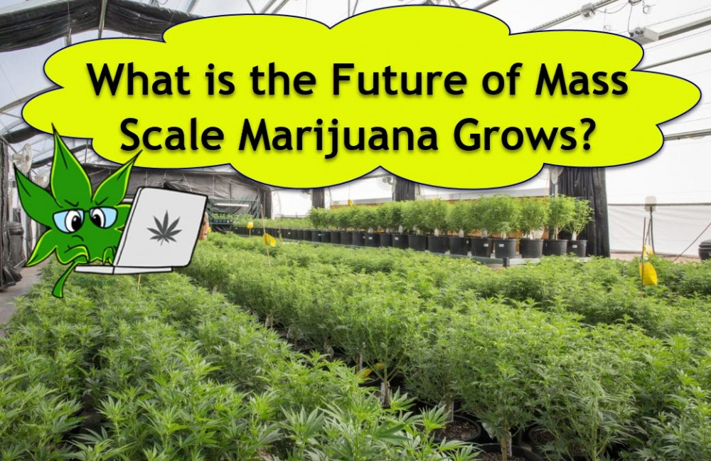 marijuana grows large scale