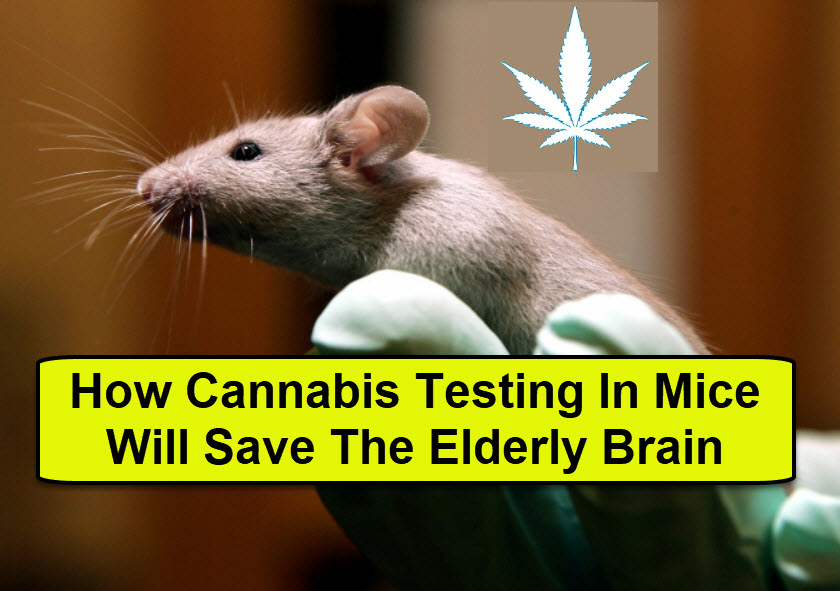ELDERLY BRAINS AND MARIJUANA