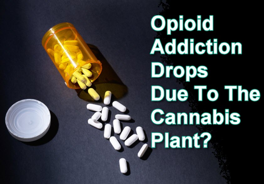 OPIOID ADDICTION DROPS WITH CANNABIS