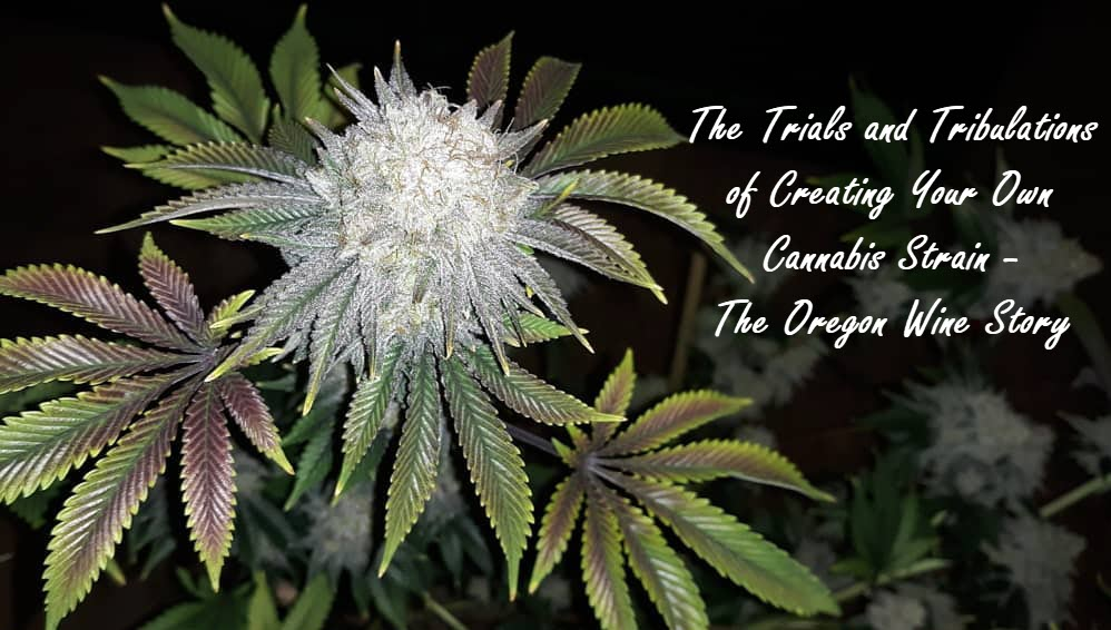oregonwinestrain - The Trials and Tribulations of Creating Your Own Cannabis Strain - The Oregon Wine Story