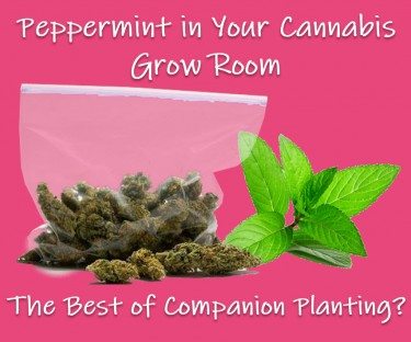 PEPPERMINT PLANTS FOR CANNABIS GROWS