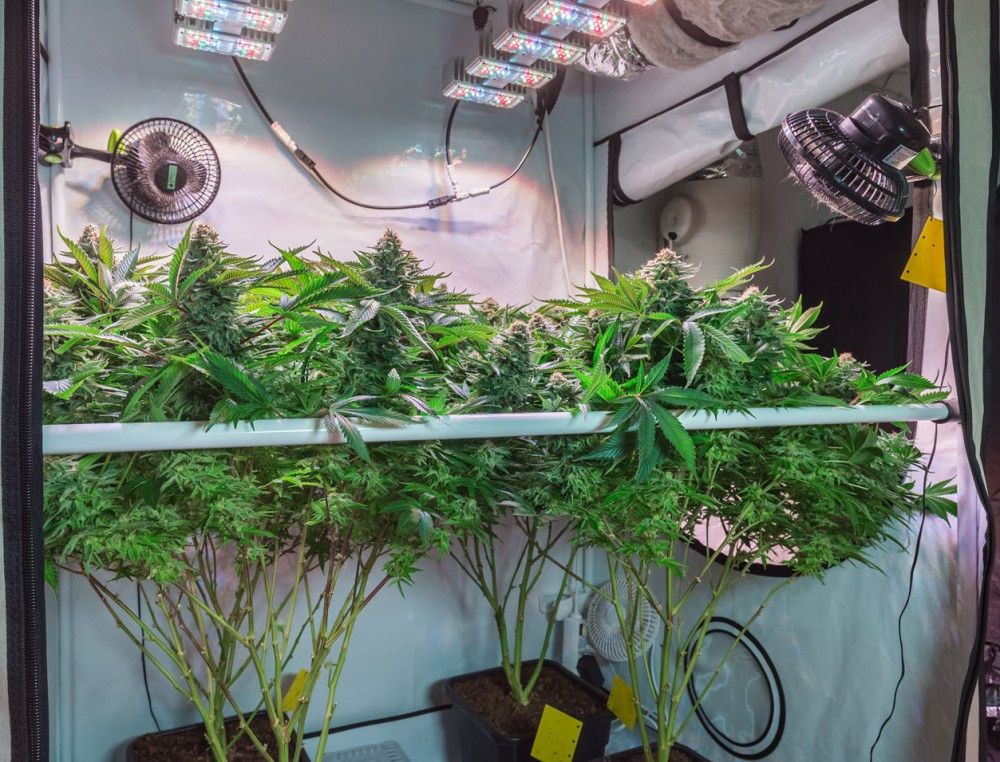 How to Set Up a Grow Tent for Cannabis Plants