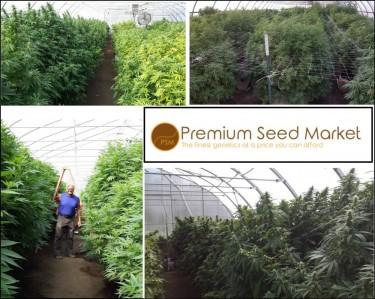 premium cannabis seeds online