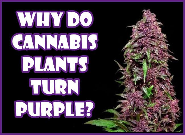 purple cannabis plants