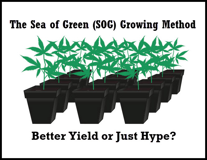 soggrowingmethods - The Sea of Green (SOG) Growing Method - Better Yield or Just Hype?