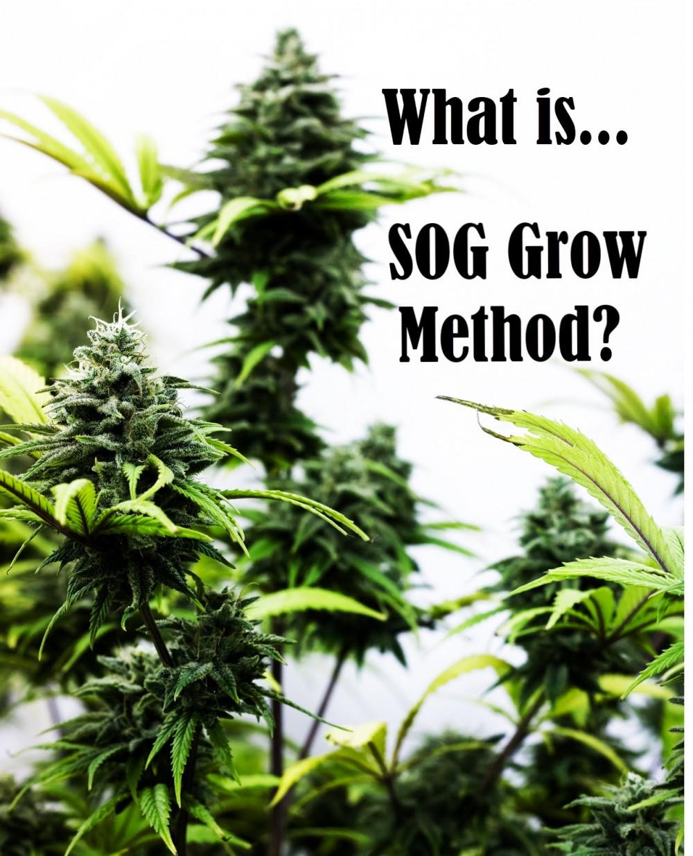 SOG grow method - sea of green