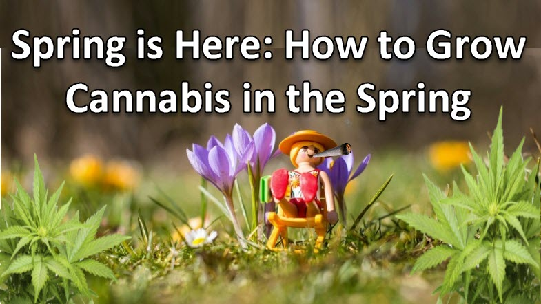cannabis in the spring