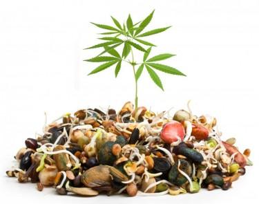 starting a marijuana seed bank