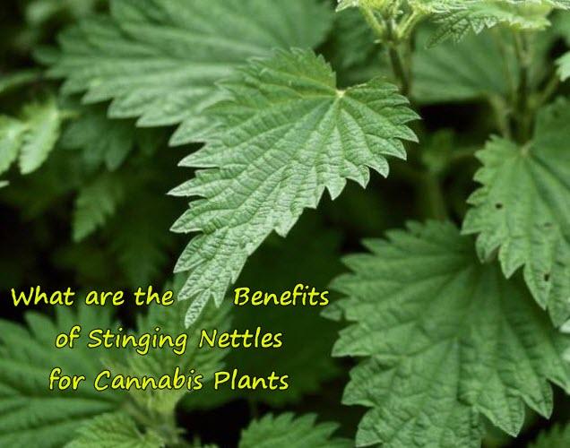 stingingnettlesformarijuanaplant - What are the Benefits of Stinging Nettles for Cannabis Plants?