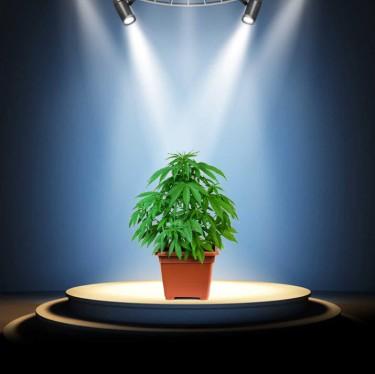 teen suicide watch on cannabis