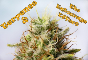 terpenes for the entourage effect