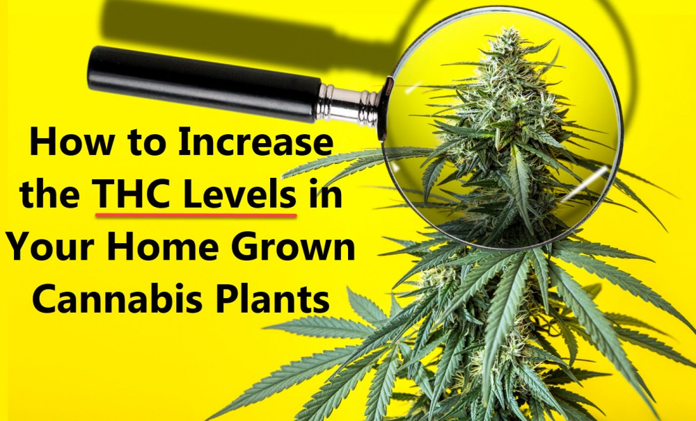 HOW TO INCREASE THC LEVELS IN HOME GROWN MARIJUANA PLANTS