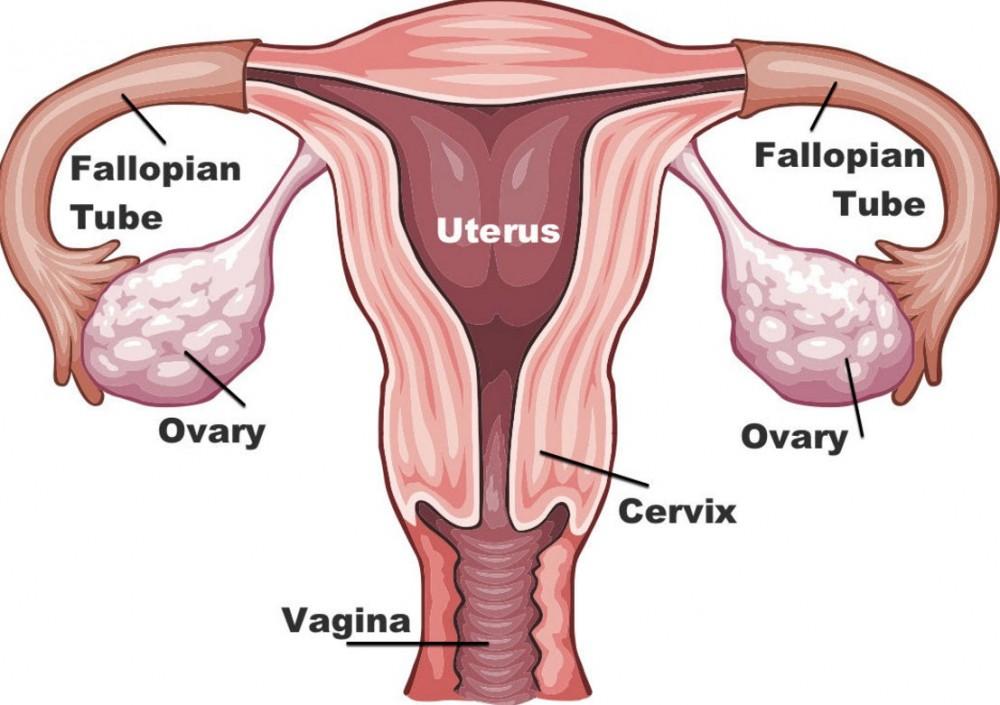 uterus cannabinoids