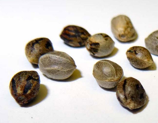 HOW TO GROW MARIJUANA SEEDS