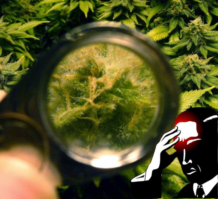 whentoharvestyourmarijuanaplants - Top Signs That It's Time to Harvest Your Cannabis Plants